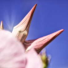 ...pink Stachels...