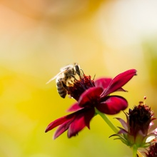 ...Biene-Blume...