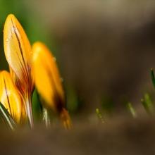 ...die ersten Spitzen des Frühlings...