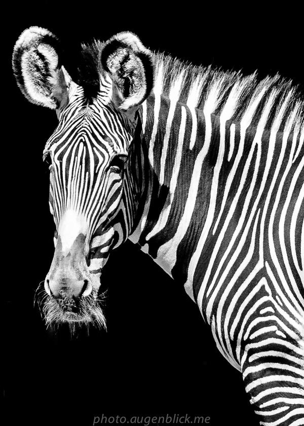 Zebra-Streifen-Zebra