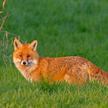 Fuchs im Abendlicht