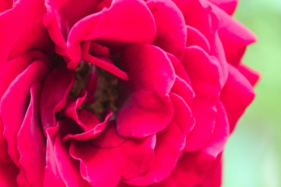 Rosen sind... PINK