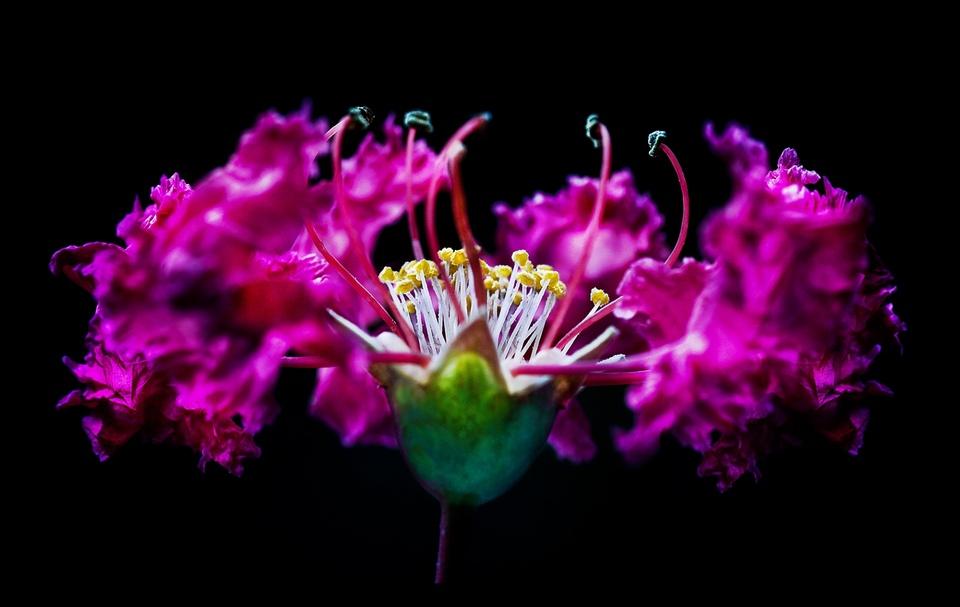 Ballettröckchenblume