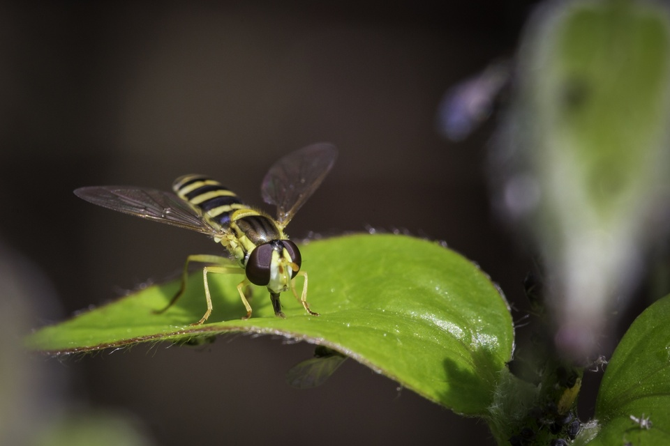the hoverfly has landed