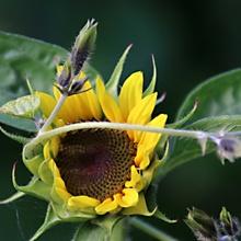 Sonnenblüte