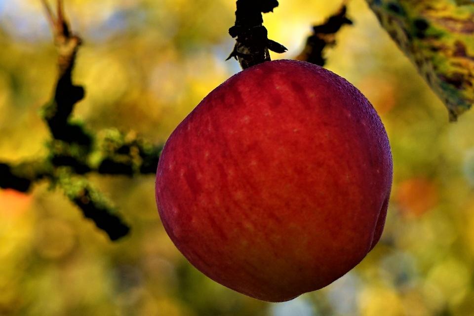 Letzer Apfel am Baum...taufrisch