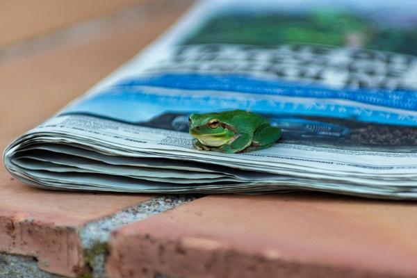 Zeitungsfrosch
