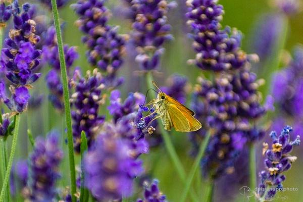Scmetterling im Lavendel