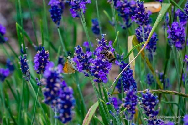 Lavendelbesucher