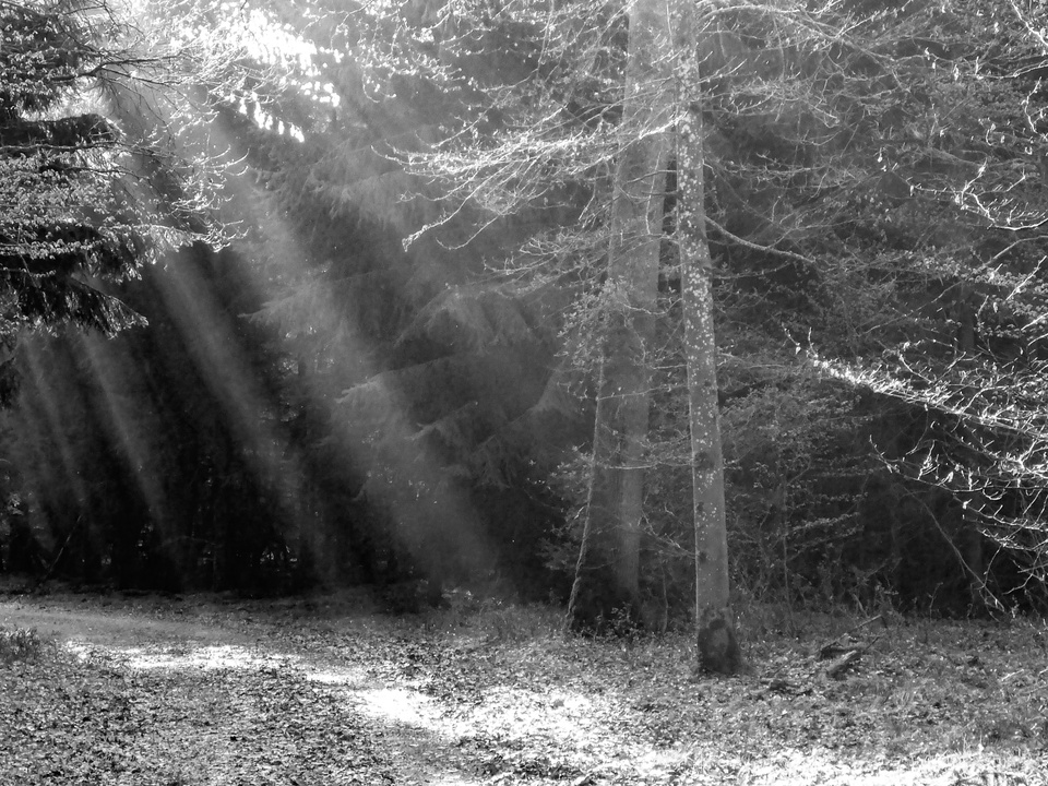 Black&White Forest