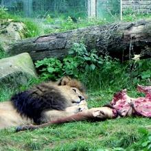 Panthera leo ..ein Bein zuviel