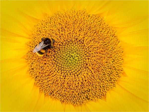 Hummel & Sonnenblume