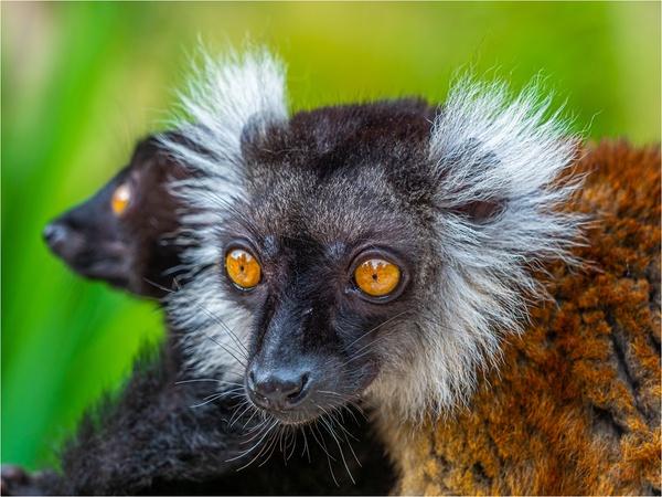Eulemur macaco
