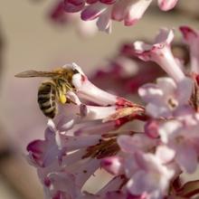 Kleine fleißige Biene