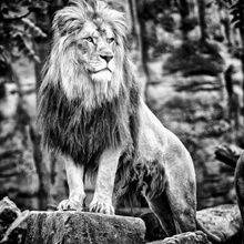 the lions king