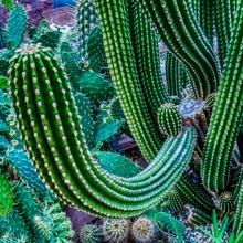 Kaktus....