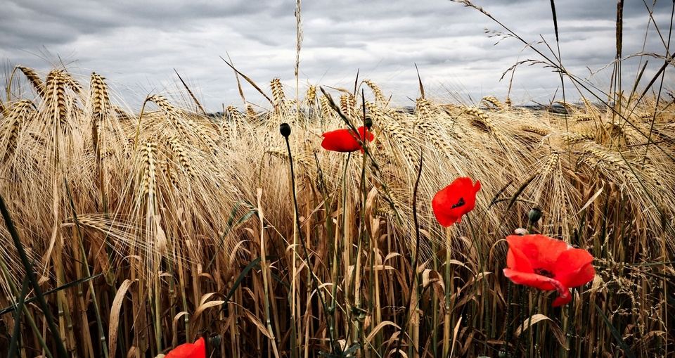 Mohnblumen im Getreidefeld