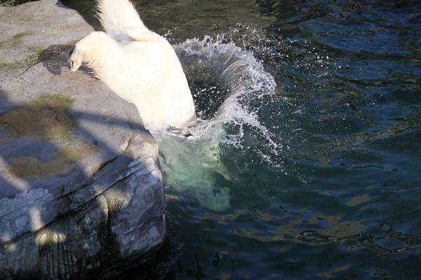 Eisbären springt ins Wasser