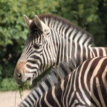 Zebra(mit)streifen
