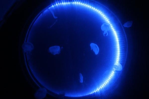 Quallen im blauen Licht