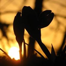 Krokusse im Sonnenuntergang