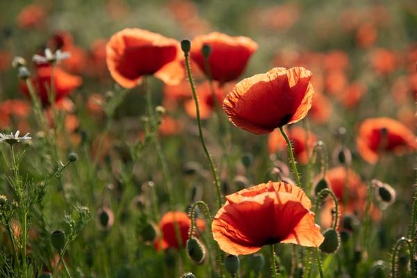 Mohnblumen, die Farbe des Sommers