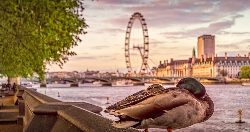 London Duck Tales