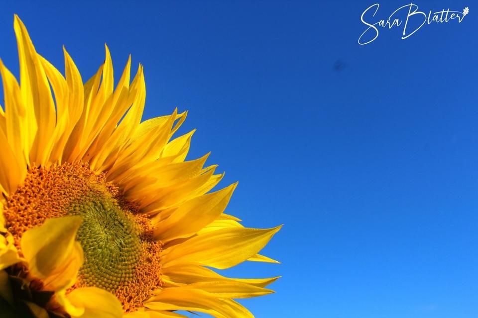 Meine Sonnenblume