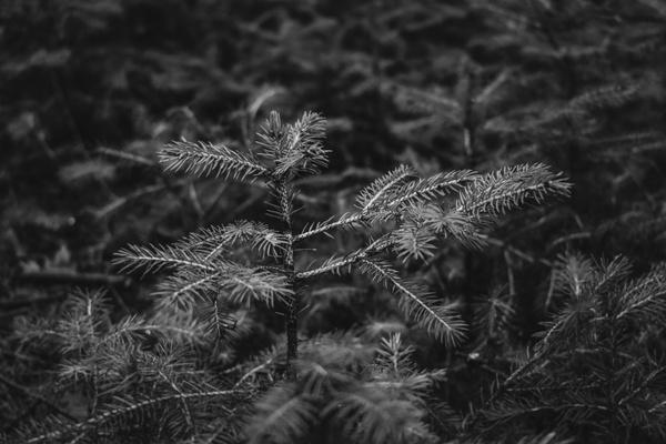 Kleiner Nadelbaum