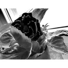 Black gigant Rose