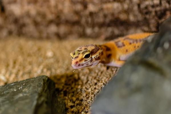 Leoparden Gecko