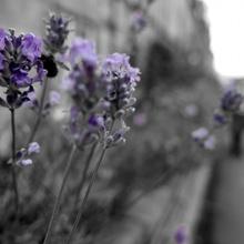 Hummelgebrumsel im Lavendel