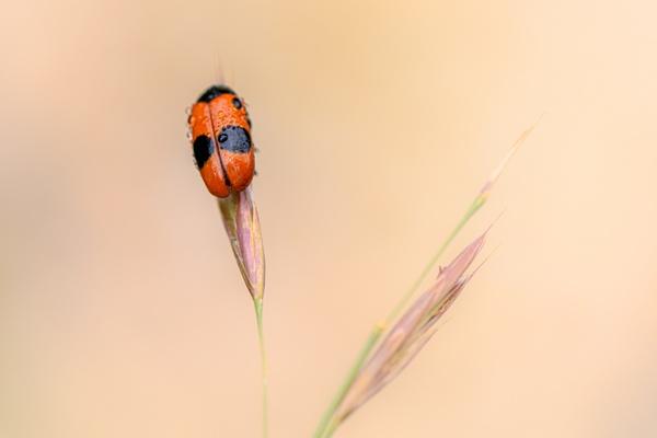 Juni's Käfer