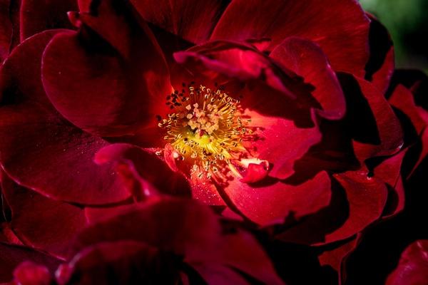 Sonoma Velvet Ruby