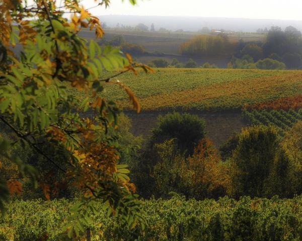 Goldener Oktober - Weinberge in Rheinhessen