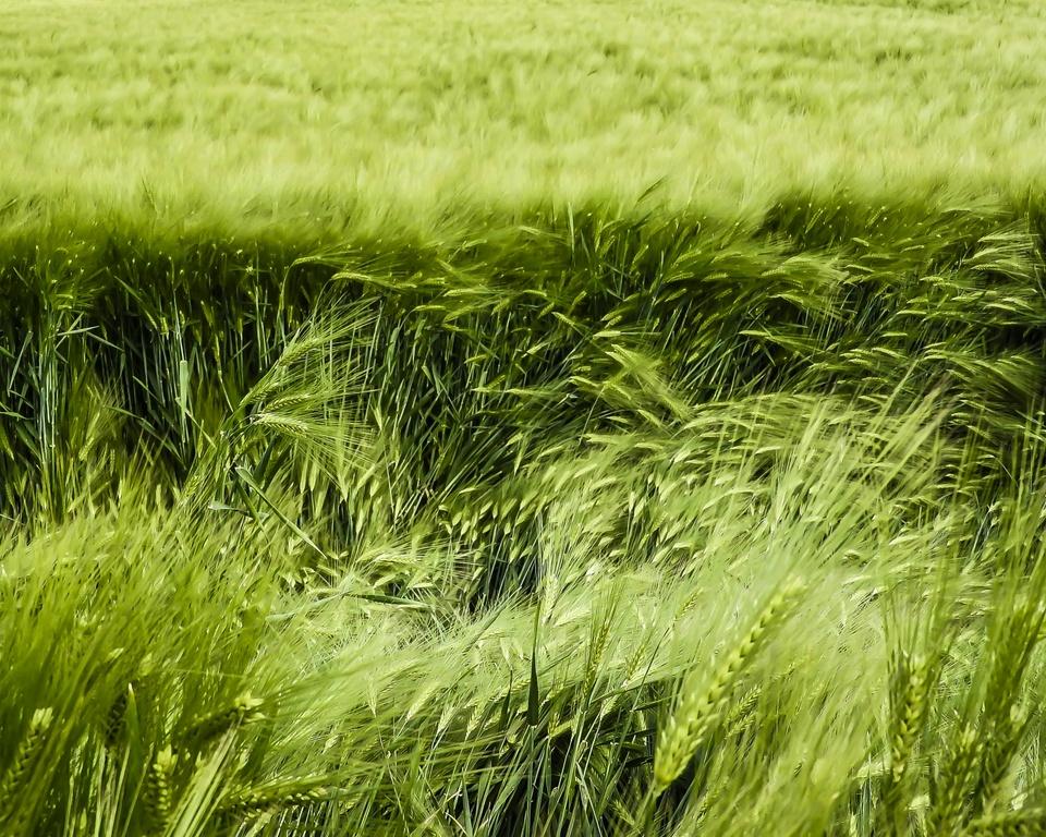 Getreide - noch grün hinter den Ohren