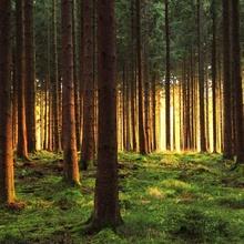 Fichtenwald im Abendlicht