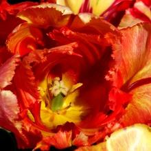 Tulpe mit Innenleben