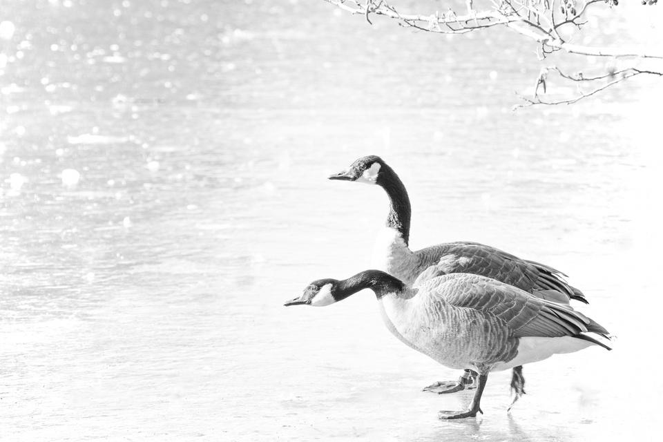 Gans on Ice