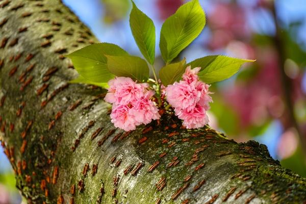 Bonner Kirschblüte