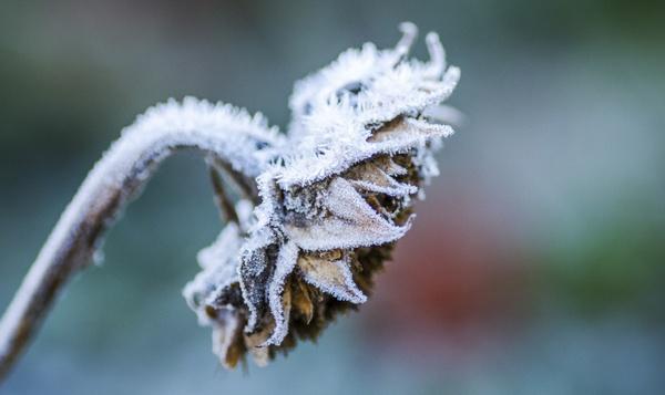 Wenn Sonnenblumen einfrieren dann ist es kalt !