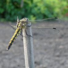 Mai Libelle