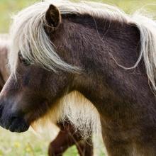 Pony - nah und scheu