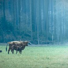 Rinder im Orlatal