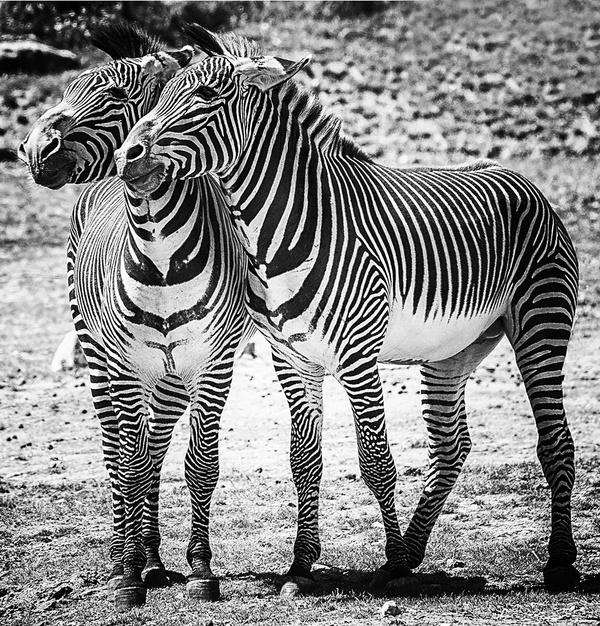 Zufriedene Zebras