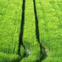 Paralleles Getreide
