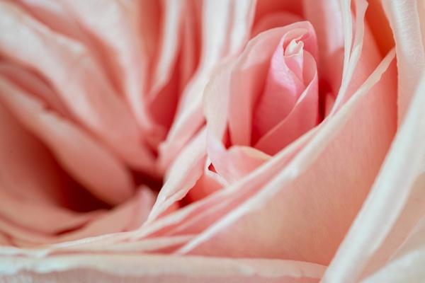 Rose en detail