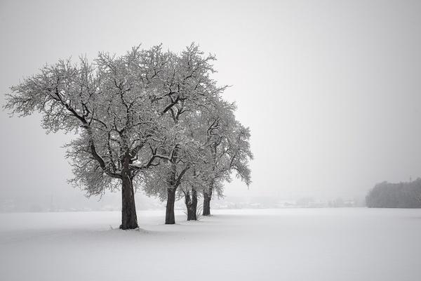 Mostbirnenbäume